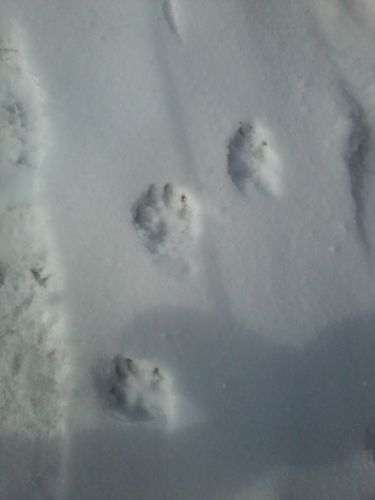 snow pawprints