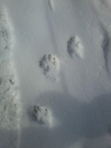snow pawprints